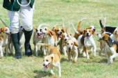 Pack of Beagles out hunting — Stock Photo