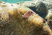 Kroon-vis met zeeanemonen — Stockfoto