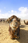 Camels head in the desert with funny expression — Stock Photo