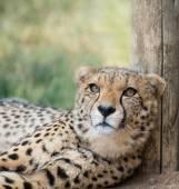 Lieing cheetah — Stock Photo