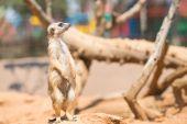 Alert meerkat standing on guard — Stock Photo