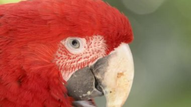 Red macaw. — Stock Video