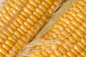 Grains de maïs mûr closeup — Photo