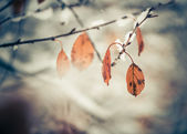 Snowy tree branches with leafs — Stock Photo