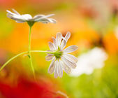 Summer flowers at colorful background — Stock Photo