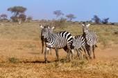 Zebras in Kenya's Tsavo Reserve — Stock Photo