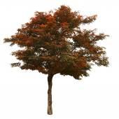 秋天一棵树被隔绝在白色背景上 — 图库照片