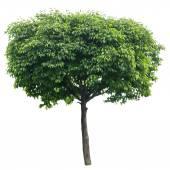 Tree isolated on white — Stock Photo
