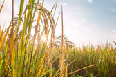 Rice in field with sun beam — Stock Photo