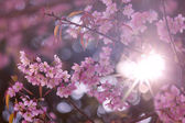 Cherry blossom or pink sakura flower with sunbeam  — Foto Stock
