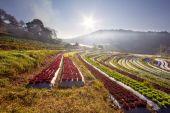 Sunrise over salad vegetable field — Stock Photo