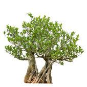 árvore de bonsai, isolado no fundo branco — Fotografia Stock