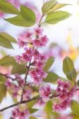 Cherry blossom or pink sakura flower — Stock Photo