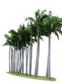 Palm tree on isolate white background  — Stock Photo