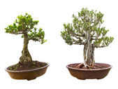 Bonsai tree in a pot. Isolated on a white background — Stock Photo