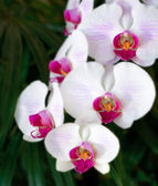 Closeup white orchid in the garden — Stock Photo