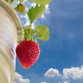 Close up red ripe strawberry with blue sky with clouds backgroun — ストック写真