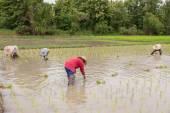 Skupina zemědělců jsou pěstování rýže v serverové farmě — Stock fotografie
