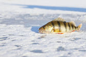 Ice-fishing — Stock Photo