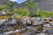 Rhodiola rosea growing on a rock in a mountain stream — Stock Photo