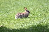 Rabbit, Eastern Cottontail — Stock Photo