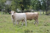 Koeien in veld — Stockfoto