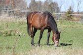 Horse in Field Grazing — Stock Photo