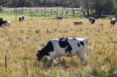 Krávy v oboru — Stock fotografie