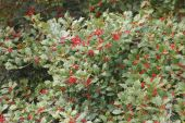 Holly Tree, American bearing Berries — Stock Photo