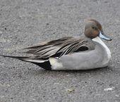 Northern Pintail Duckc  (Anas acuta) — Stock Photo