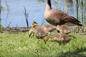 Canada Goose and Goslings — Stock Photo