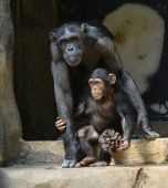CHIMPANZEE AND CHILD — Stock Photo