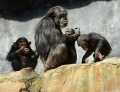 Mother and Children Chimps — Stock Photo