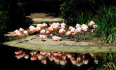 Стаи фламинго — Стоковое фото