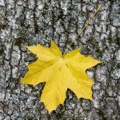 Yellow maple leaf — Stockfoto