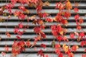 Vermelha trepadeira na parede de madeira no outono — Fotografia Stock