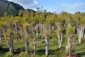 Plantation de thé à Karamea, Nouvelle-Zélande. — Photo