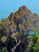 Giant Pohutukawa Tree at Liger Bay New Zealand — Stock Photo