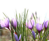 Close up of saffron flowers in a field — Stock Photo