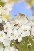 Honeybee harvesting pollen from blooming flowers — Stock Photo