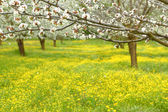 Spring cherry blossom trees in green field — Stock Photo