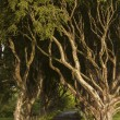 Dark Hedges, County Antrim — Stock Photo #52877321
