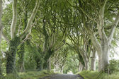 Dark Hedges, County Antrim — Stock Photo