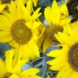 Close-up of Sunflowers — Stock Photo #60593413