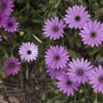 Purple Daisy Flower — Stock Photo #70486035