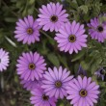Purple Daisy Flower — Stock Photo #70486045