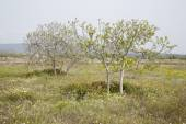 Fig Trees in Field on Formentera, Balearic Islands — Stock Photo