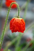 červený květ máku — Stock fotografie