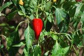 Red Chili in La Gomera — Stock Photo