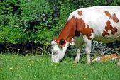 Cow in Rhone Alpes fields — Stock Photo